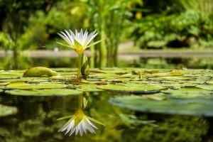 water-lily-1857350_960_720